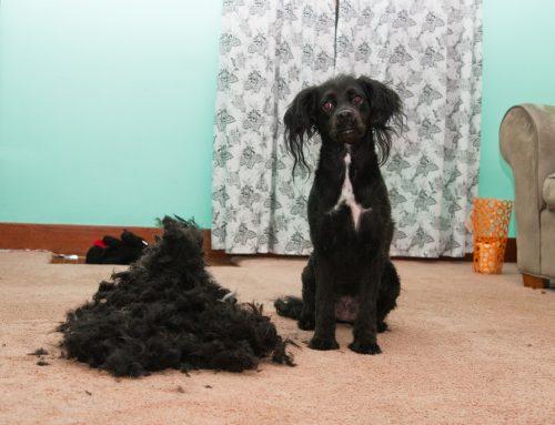 ¿Perros de pelo corto o largo?