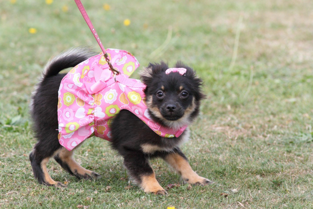 Perro con vestido
