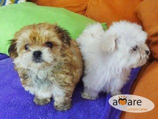 Perros miniaturas