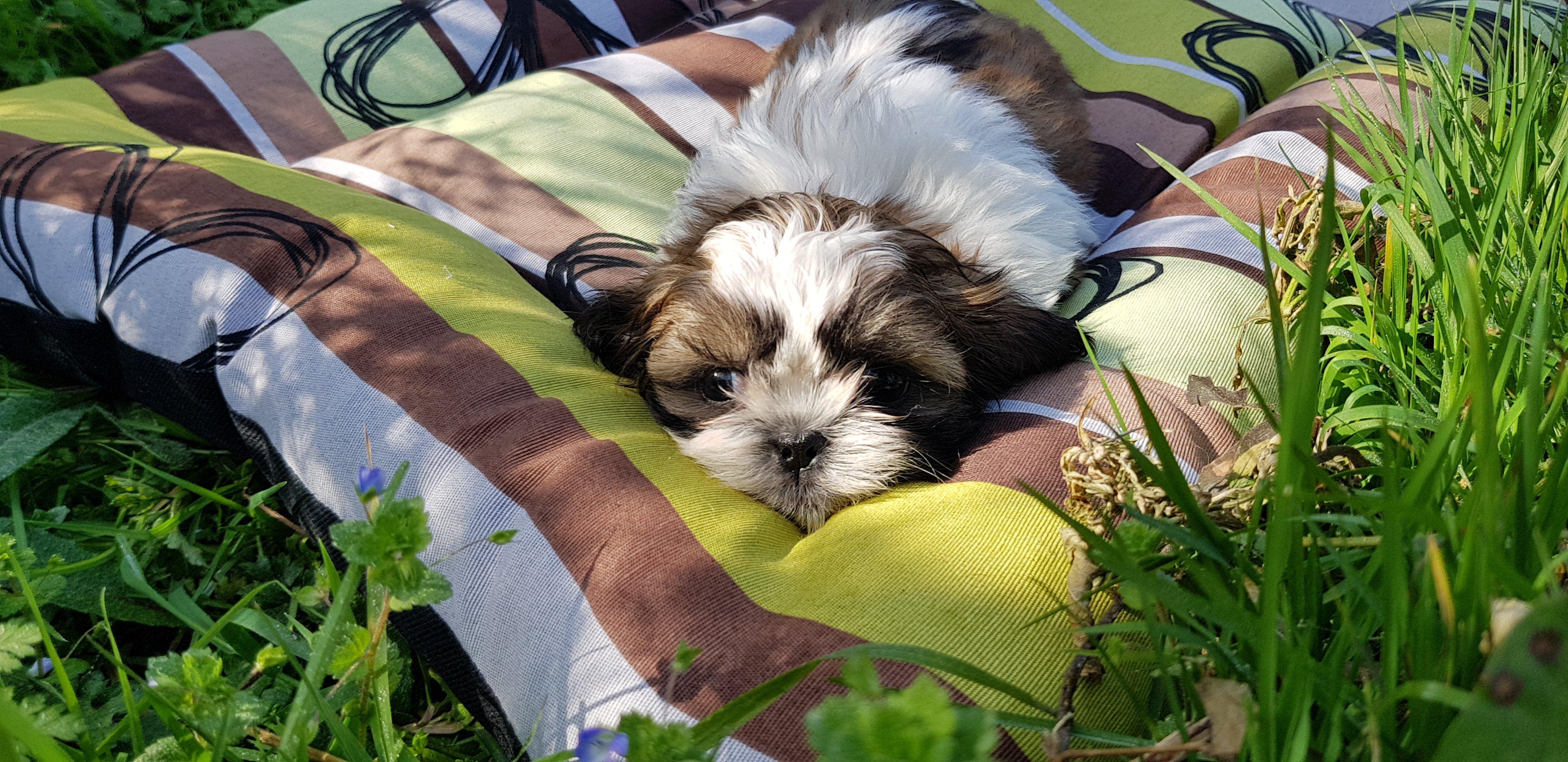 Comprar cachorro de Shih Tzu en Vizcaya