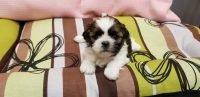 Comprar Shih Tzu cachorro