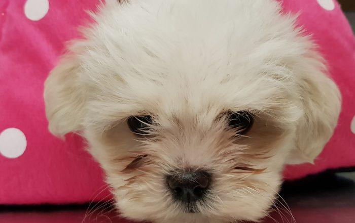 Cachorro de Bichon Maltés disponible
