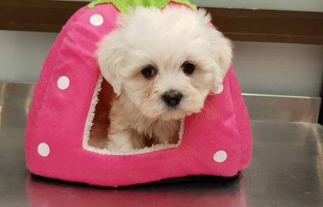 Comprar cachorro de Bichon Maltes