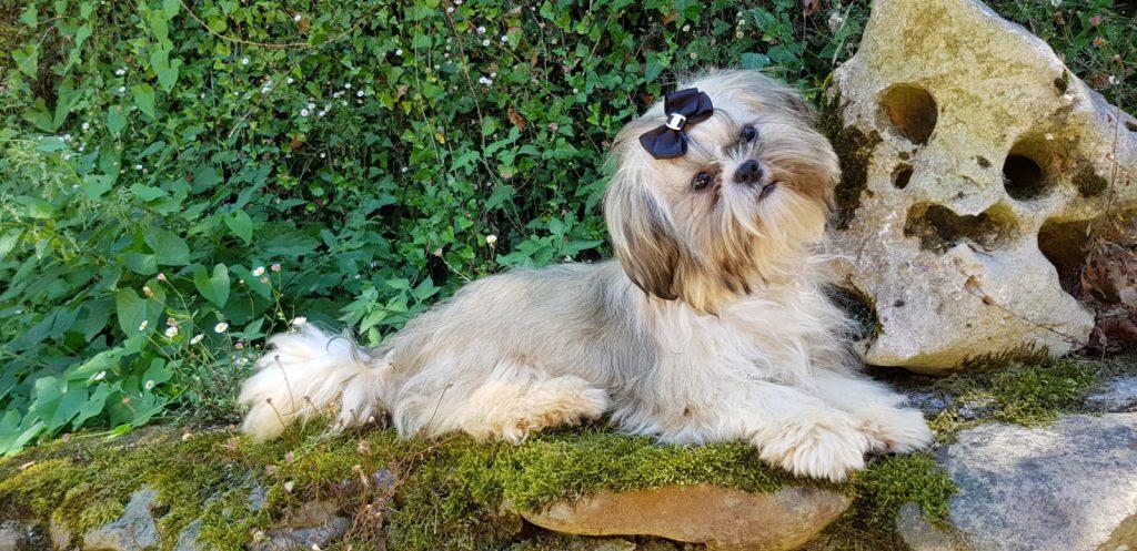 Cachorros de Shih Tzu en Bilbao