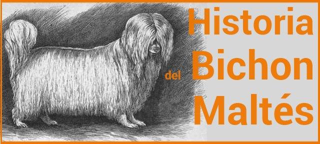Historia del Bichon Maltés