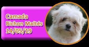 Cachorros disponibles de Bichon Maltés