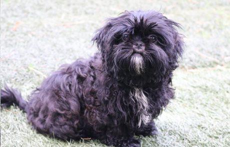 comprar cachorro de Shih Tzu