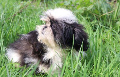 Cachorrita de Shih Tzu hembra